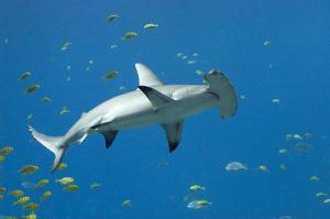 Smooth Hammerhead Shark