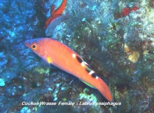Cuckoo Wrasse  Female  - Labrus ossiphagus