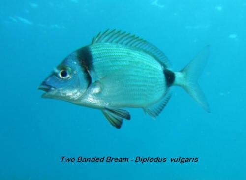 Two Banded Bream - Diplodus  vulgaris 2